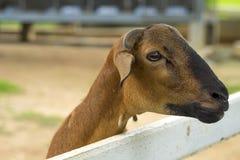 Коза в paddock Стоковая Фотография RF