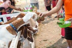 Коза в paddock Стоковые Фото
