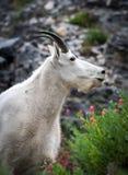 Коза горы вытаращить в расстояние стоковые фотографии rf