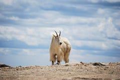 Коза горы в горах ` s Колорадо скалистых, Соединенных Штатах стоковая фотография rf