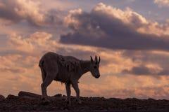 Коза горы в красочном заходе солнца Стоковое Изображение RF