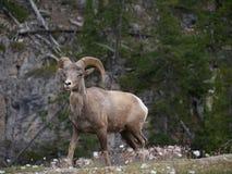 Коза горы в национальном парке Стоковые Изображения