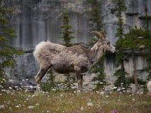 Коза горы в национальном парке Стоковые Фото