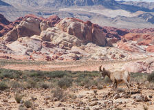 Коза горы в пустыне Невады стоковое изображение