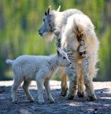 Коза горы и ребенк - национальный парк яшмы стоковые изображения