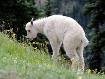 Коза горы младенца есть цветки Стоковое Изображение