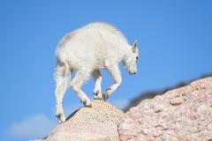 Коза горы младенца - козы горы в Колорадо скалистом Mounta Стоковая Фотография