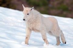 Коза горы младенца протягивая в олимпийском snowfield национального парка в штате Вашингтоне стоковые изображения rf