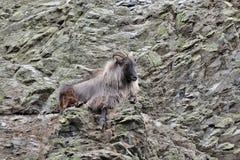 Коза горы на горном склоне стоковая фотография