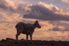 Коза горы на заходе солнца Стоковые Фотографии RF