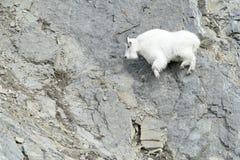 Коза горы на скале Стоковые Изображения