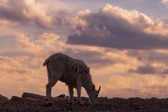 Коза горы пася на заходе солнца Стоковые Фотографии RF