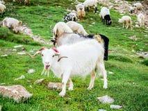 Коза горы фермы в Индии Стоковая Фотография RF