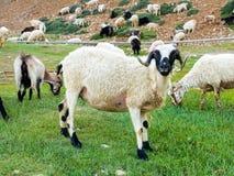 Коза горы фермы в Индии Стоковое Изображение RF
