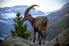 Коза горы Стоковые Изображения RF