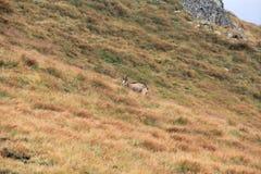 Коза горы Стоковое Изображение RF