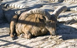 Коза горы Стоковые Фото