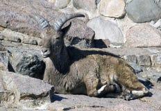 Коза горы Стоковое фото RF