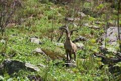 Коза горы, стоковое изображение