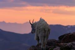 Коза горы Silhouetted на заходе солнца Стоковое Изображение