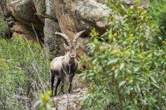 Коза горы waching я стоковые фотографии rf