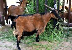 Коза есть траву в зоопарке chiangmai, Таиланде Стоковые Фотографии RF