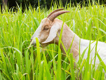 Коза есть траву Стоковое Фото