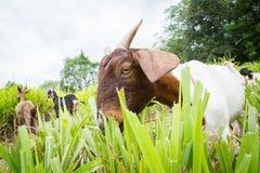 Коза есть траву Стоковые Изображения
