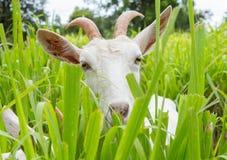 Коза есть траву Стоковая Фотография