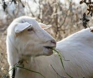 Коза ест траву Стоковые Изображения