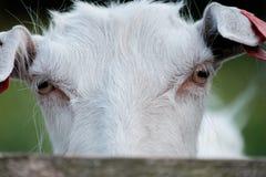 Коза за загородкой Стоковые Фотографии RF