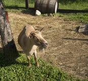 Коза игнорируя фотограф стоковая фотография