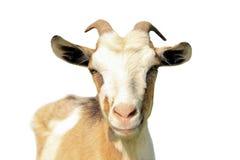 Коза изолированная на белой предпосылке стоковые изображения rf