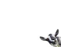 Коза изолированная на белой предпосылке Стоковые Фотографии RF