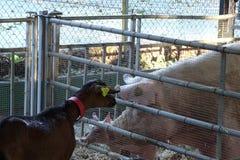 Коза и свинья закрытые в ферме Стоковые Изображения