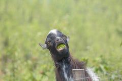 Коза Камеруна мини жует зеленое яблоко на фоне зеленой травы стоковое фото rf