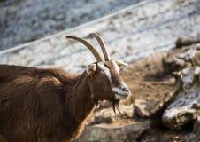 Коза карлика в зиме на немецком олене паркует Стоковые Изображения RF