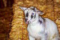 Коза карлика младенца Стоковые Изображения