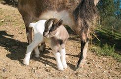 Коза карлика младенца Стоковое фото RF