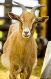 Коза коза любимчика животная коза Козочка на ферме Молодая horned коза Стоковые Изображения