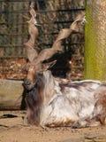 Коза козла одичалая Стоковые Фотографии RF