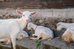 Коза конца-вверх белая с детьми в весеннем дне дома в деревне двора солнечном Стоковое фото RF