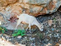 Коза Крит Стоковое Изображение RF