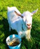 коза любимчика стоковые изображения rf