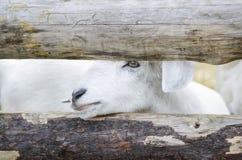 Коза младенца белая в мелком крестьянском хозяйстве Стоковые Изображения RF