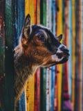 Коза младенца находя свобода стоковые фотографии rf