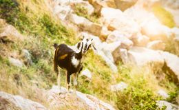 Коза младенца пася и усмехаясь на утесах горы Phan звенел, Вьетнам Стоковые Изображения