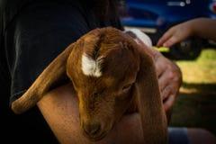 Коза младенца с белой звездой на лбе стоковое фото rf