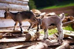 Коза молодого парня на древесине в земле Предпосылка луга стоковое фото rf