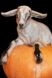 Коза младенца на черной предпосылке Стоковая Фотография